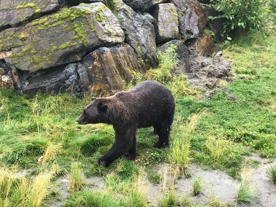 Alaska Itinerary Wildlife Rescue bear