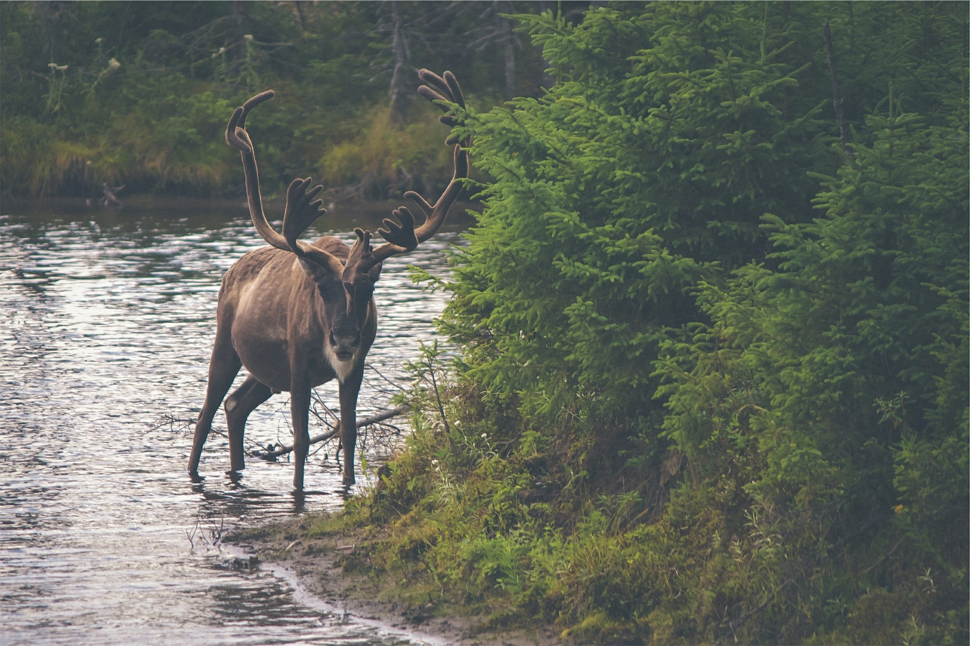 Traveling to Alaska elk
