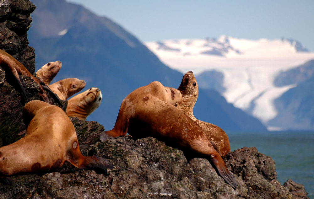 Brown sea lions sitting on rocks with glacier-topped mountain in background.