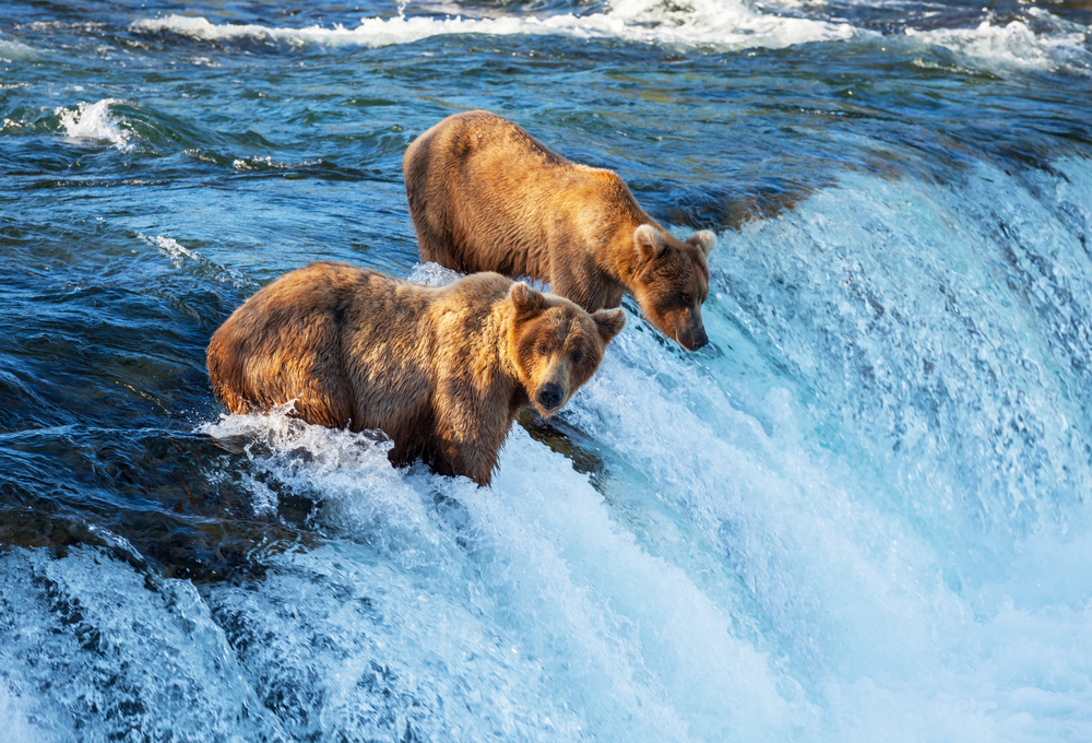 Alaska brown bears are so exciting to see