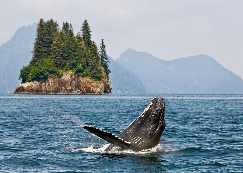 Seeing humpback whales in Alaska is awesome sightings