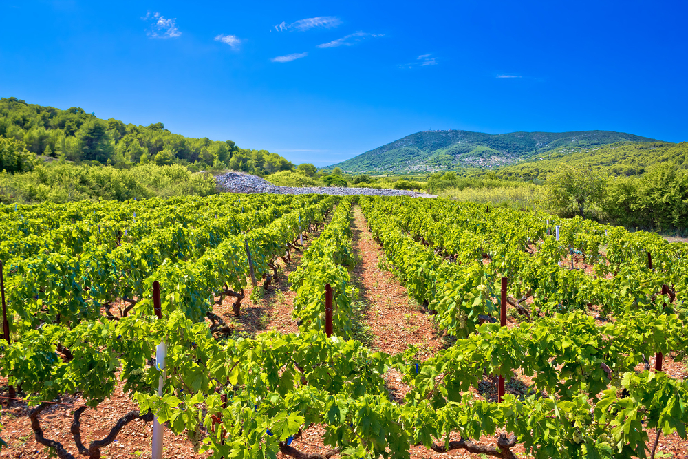 day trips from Split Croatian vineyard