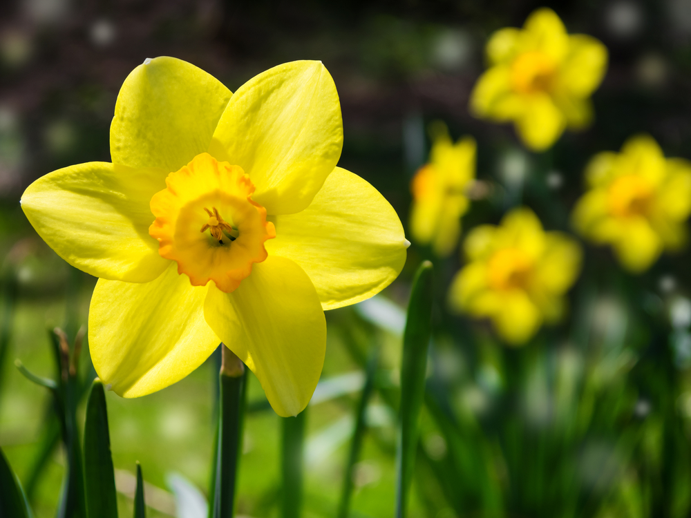 Lovely blooming daffodils is one of the most beautiful things to do in Mill Creek Park every spring