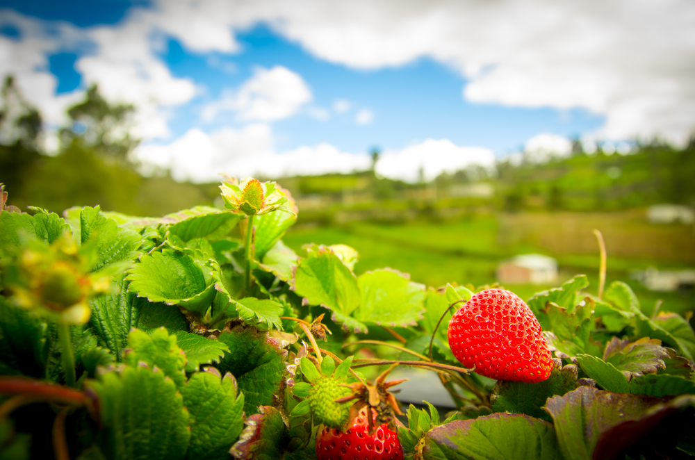 Visiting White House Farms for their strawberries in the summer is a great idea