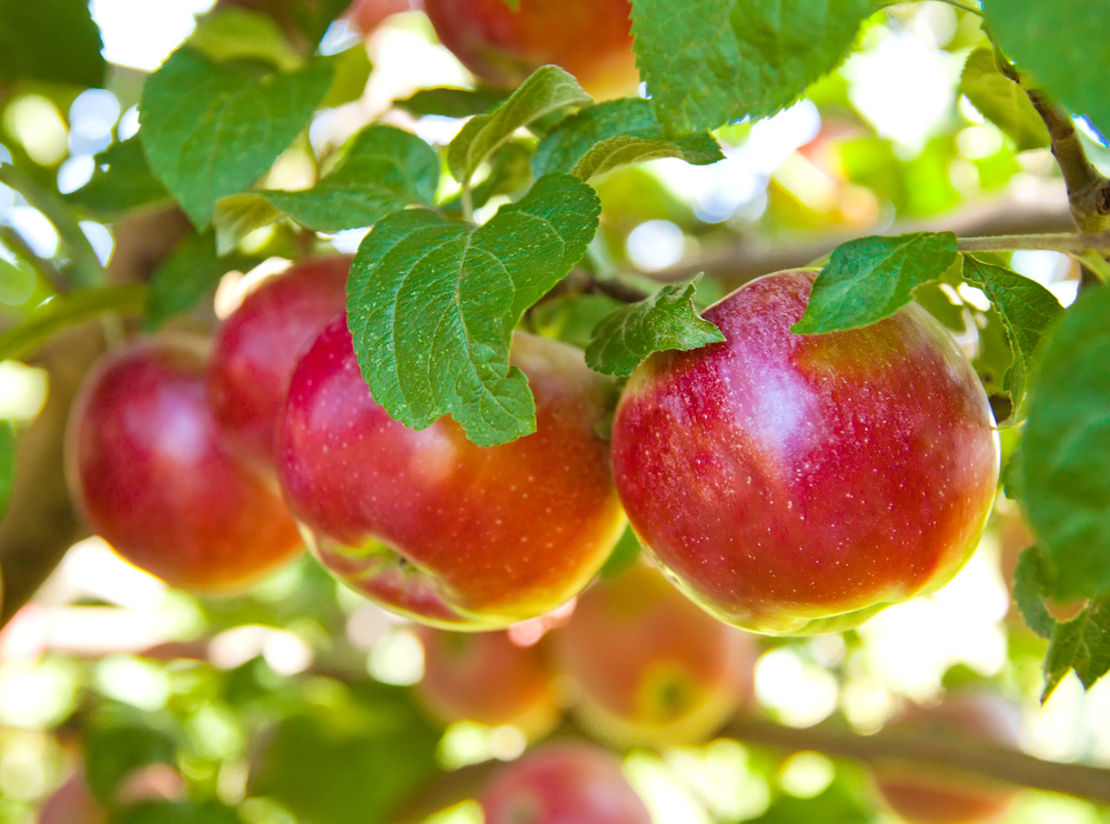 crisp red apples hanging on the tree