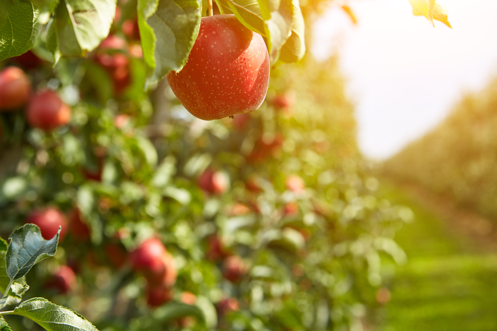 This hanging apple in the sun looks delicious and can be picked in Ohio apple orchards