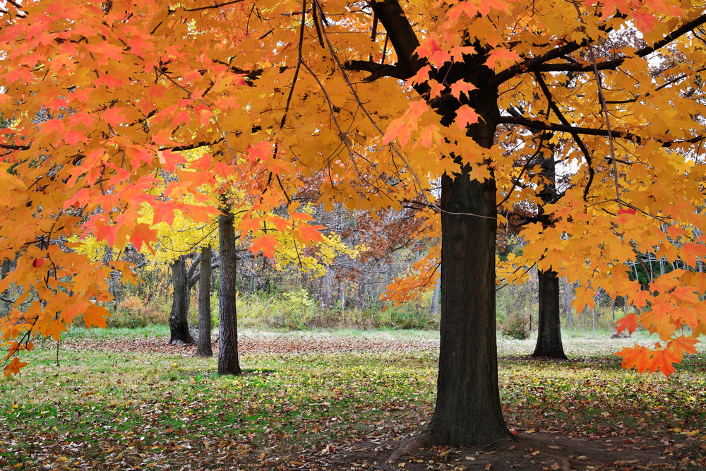 Brilliant colored trees in a park in SE Ohio