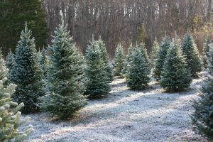 Christmas trees farms in Ohio with dusting of snow on the ground