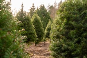 evergreen trees of different heights