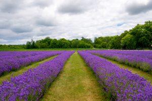 lavender field Midwest Weekend Getaways
