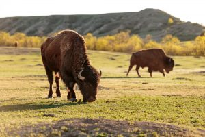 bison at Theodore Roosevelt National Park