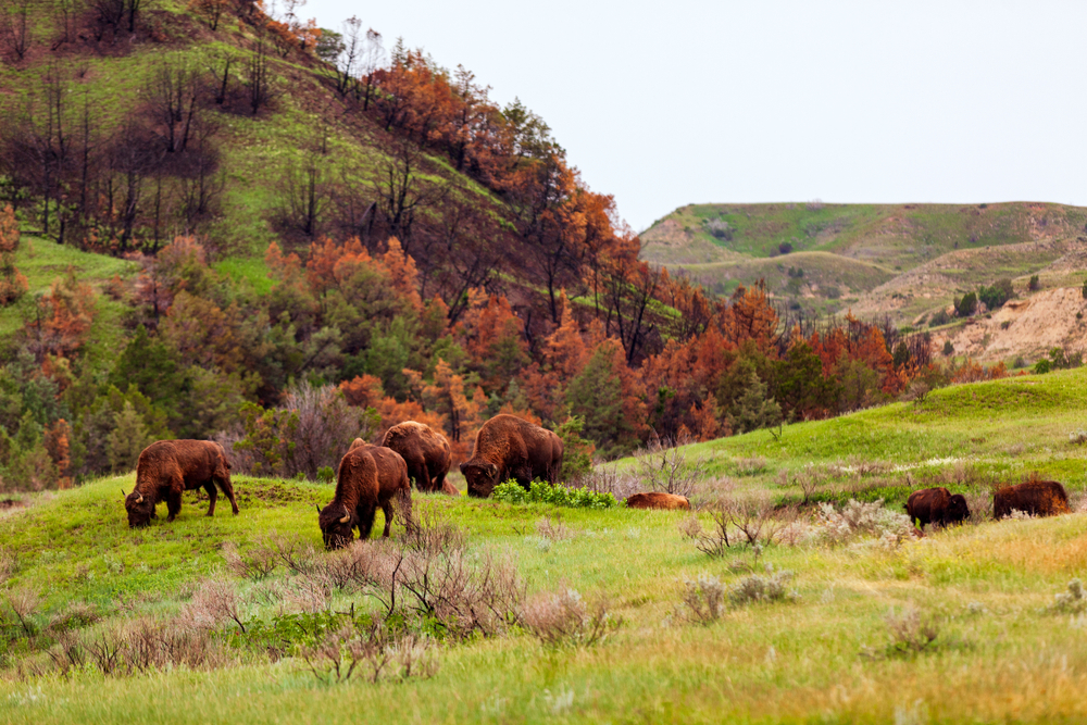 bison grazing at National Parks in the Midwest