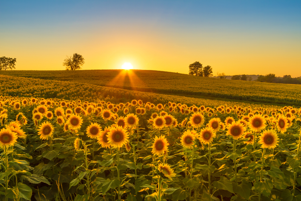 midwest landscape with lovely sunflowers
