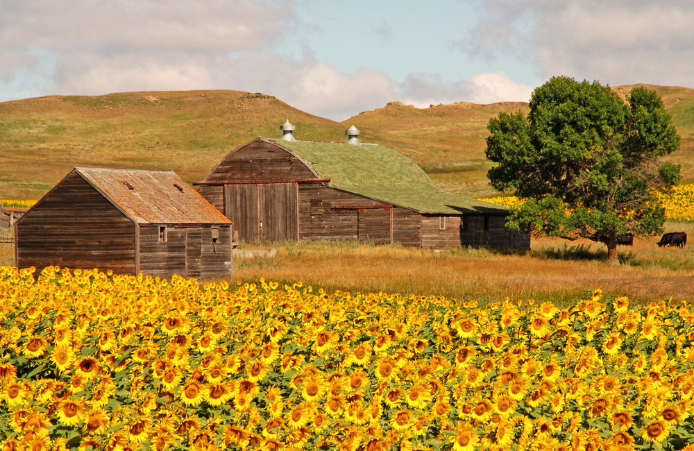 Beautiful and colorful sunflowers in North Dakota. Wooden Barns in background. The Best Airbnbs in North Dakota have similar views.