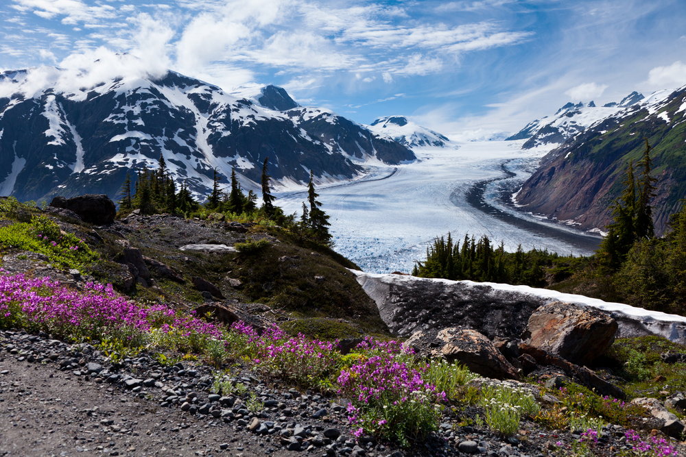 Panoramic view of Alaska glacier with purple fireweed in foreground