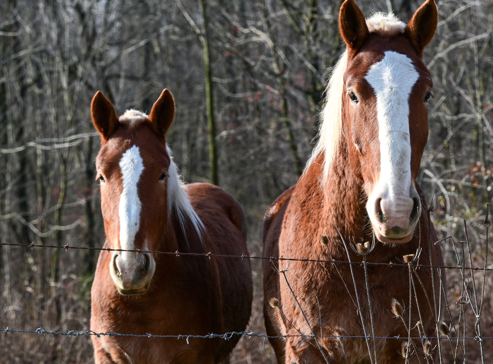 Horses looking over a gate