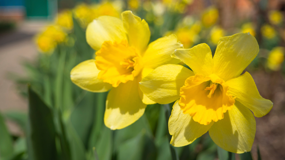 Brilliant yellow daffodils with other daffodils in background.
