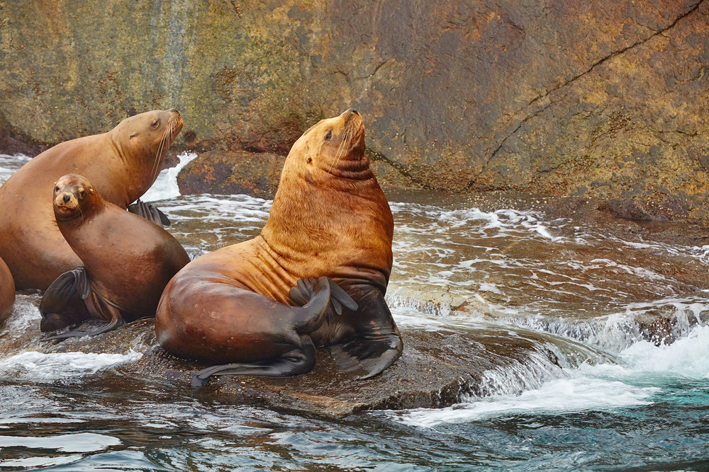 Brown sea lions sitting on rocks with water flowing. Itinerary Alaska