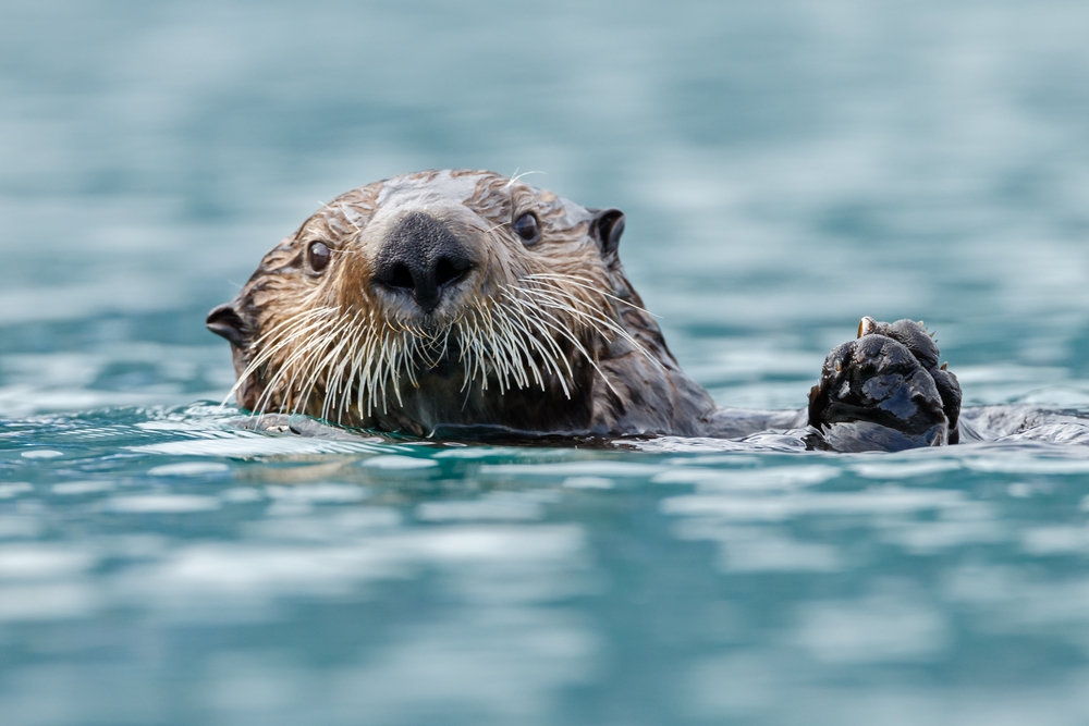 Whiskered sea otter looking at camera floating on its back.