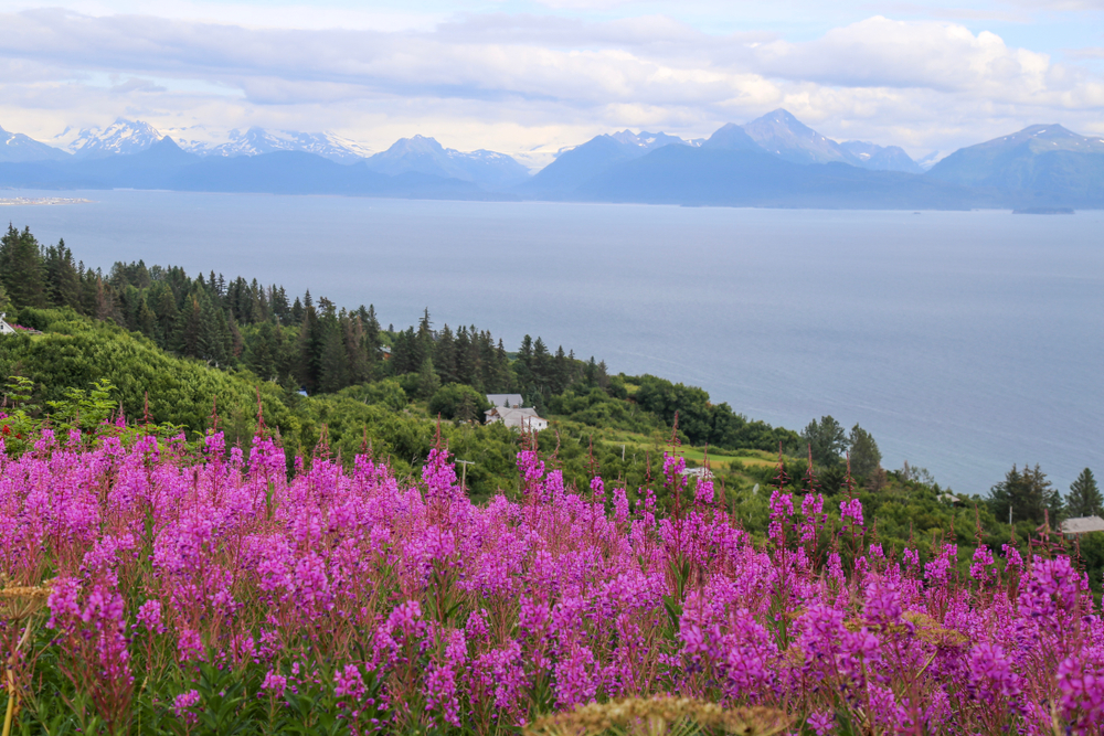 Brilliant purple fireweed on hillside with water and mountains in background. things to do in Homer Alaska